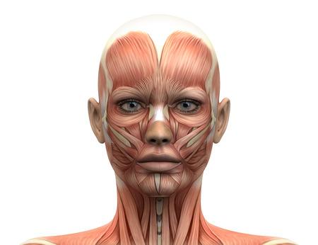 Vrouwelijk Hoofd Spieren Anatomie - Front view Stockfoto