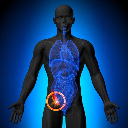 Prostata - Männliche Anatomie Menschlicher Organe - X-ray-Ansicht ...
