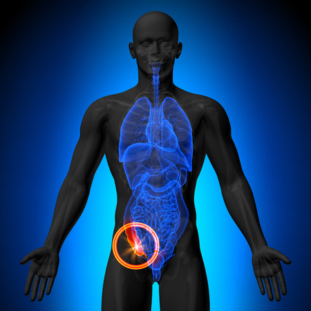 Appendix - Male anatomy of human organs - x-ray view Stock Photo - 28998224