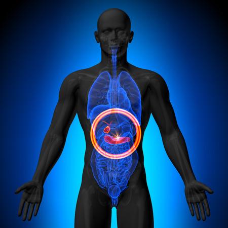 Galblaas Alvleesklier - Mannelijke anatomie van menselijke organen - x-ray