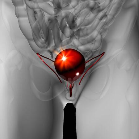 urine: Bladder - Male anatomy of human organs - x-ray view