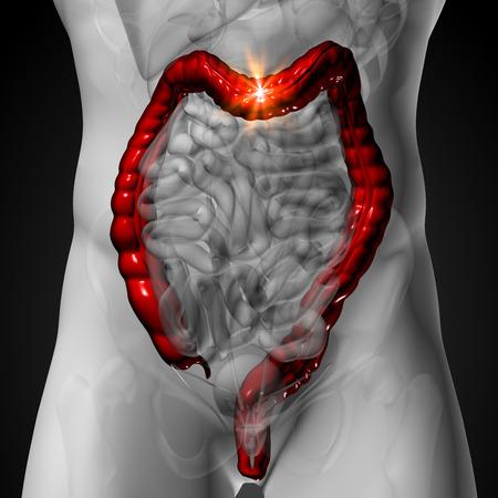 large intestine: Colon   Large Intestine - Male anatomy of human organs - x-ray view