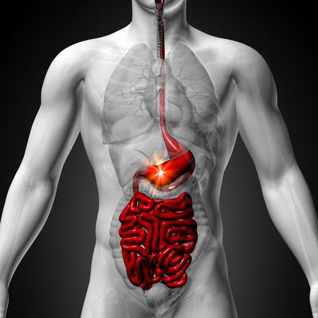 human organs: Stomach   Guts   Small Interstine - Male anatomy of human organs - x-ray view Stock Photo