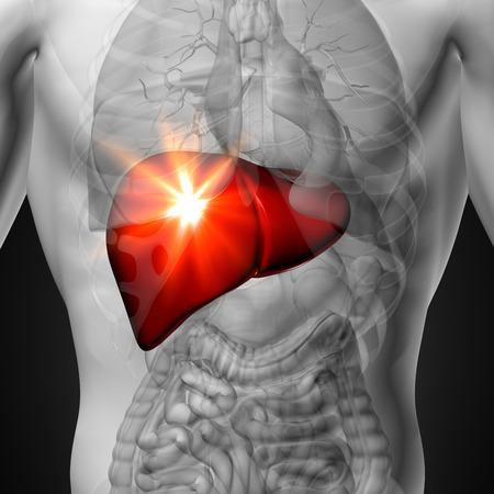 Hígado - Anatomía masculina de órganos humanos - vista de rayos x Foto de archivo