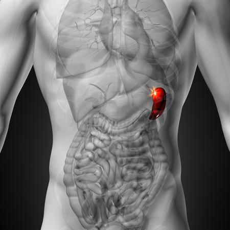 spleen: Spleen - Male anatomy of human organs - x-ray view