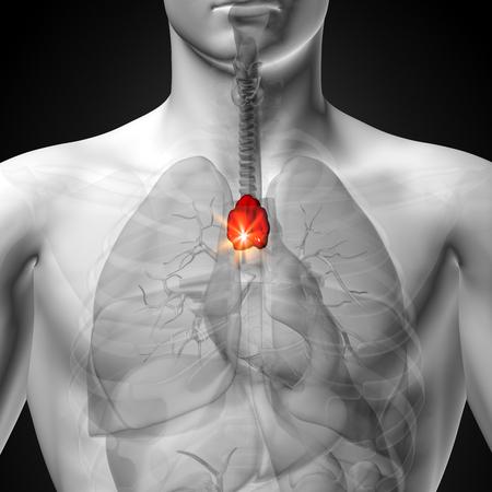 Thymus - Male anatomy of human organs - x-ray view photo