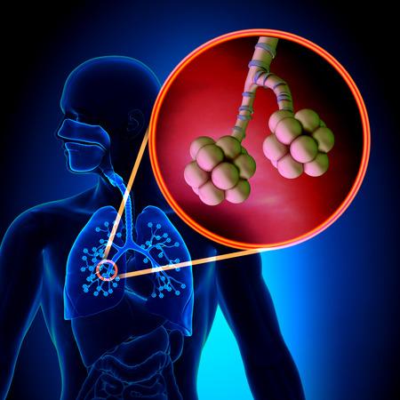 tosiendo: Los pulmones Alvéolos - Human Anatomy Sistema Respiratorio Foto de archivo