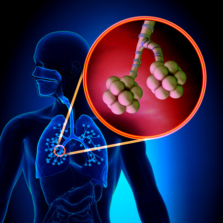 aparato respiratorio: Los pulmones Alvéolos - Human Anatomy Sistema Respiratorio Foto de archivo