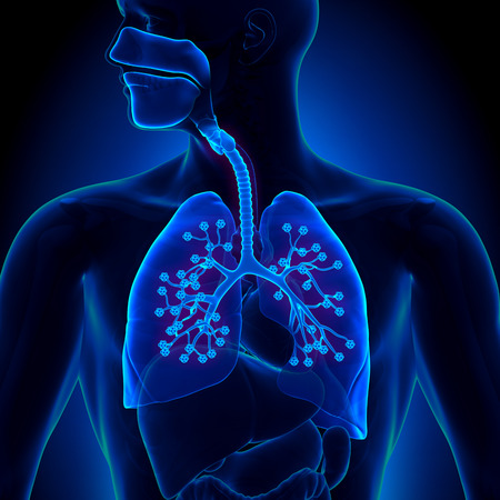 bronchiole: Lungs Anatomy - with detailed Alveoli Stock Photo
