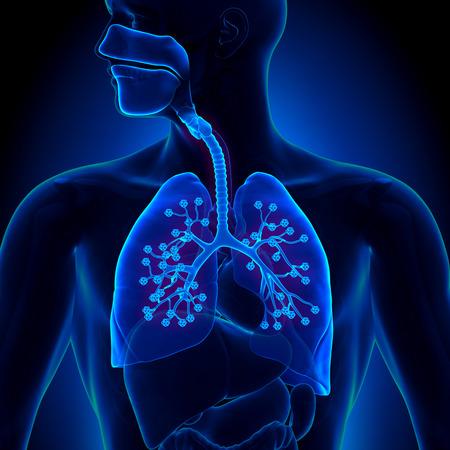 bronchi: Lungs Anatomy - with detailed Alveoli Stock Photo