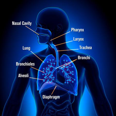Ademhalingsstelsel - gedetailleerde weergave