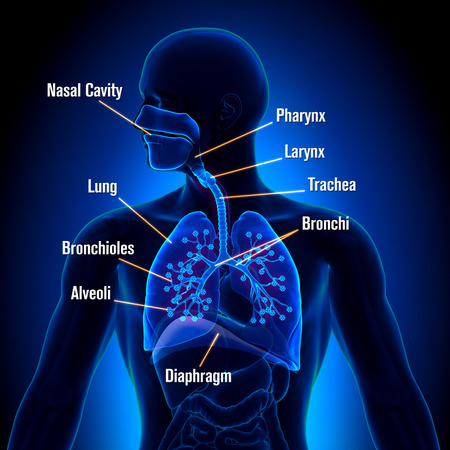 alveolos pulmonares: Sistema respiratorio - Vista detallada Foto de archivo