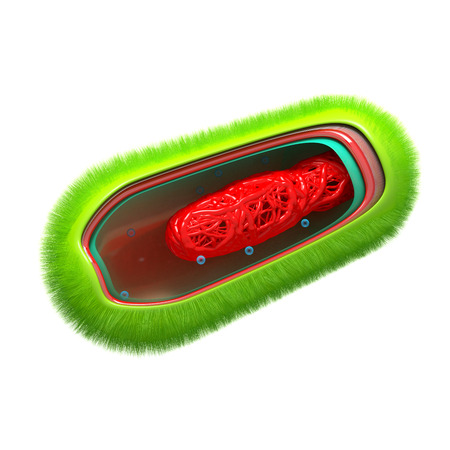 Bacteria - Prokaryote Cell Anatomy - isolated on white