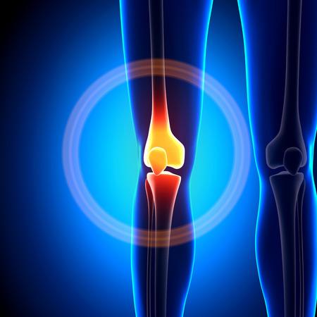 cuerpo femenino: Mujer articulaci�n de la rodilla - Huesos anatom�a Foto de archivo