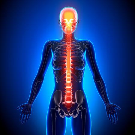 spine x ray: Female Spine - Anatomy Bones Stock Photo
