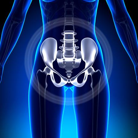 bone health: Female Hip  Sacrum  Pubis  Ischium  Ilium - Anato Stock Photo