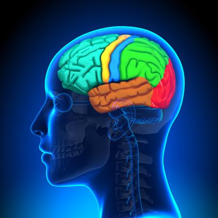 parietal: Female Brain Anatomy - Colored Stock Photo