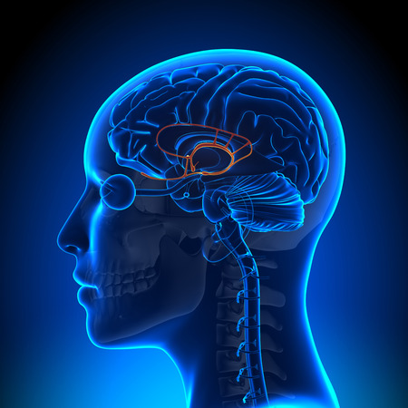 pituitary: Female Limbic System - Anatomy Brain Stock Photo