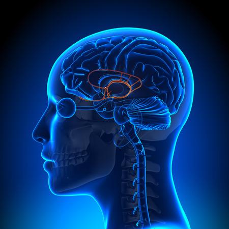 cabeza de mujer: Mujer sistema l�mbico - anatom�