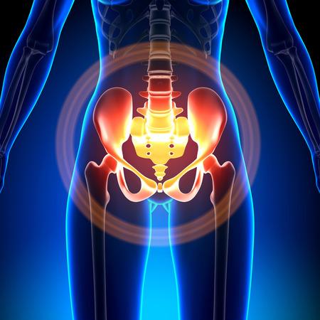 cuerpo femenino: Mujer Hip - Sacrum  Pubis  Isquion  Ili�n Foto de archivo