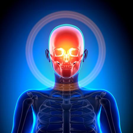 cranium: Female Skull  Cranium - Anatomy Bones