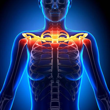 clavicle: Clavicle Bone Anatomy - Anatomy Bones