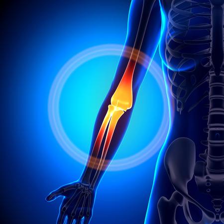 codo: Mujer Codo - Anatomía Huesos