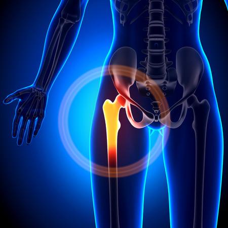 human joint: Female Hip Joint - Anatomy Bones Stock Photo