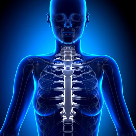 sternum: Female Sternum - Anatomy Bones Stock Photo