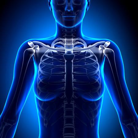 clavicle: Female Clavicle Bone Anatomy - Anatomy Bones Stock Photo