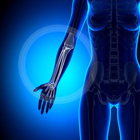 raggio: Femminile radio  ulna - dell'avambraccio - Anatomia Ossa