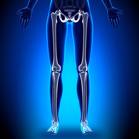 huesos humanos: Piernas femeninas - huesos anatomía