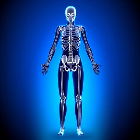 skeleton anatomy: Female Full Skeleton - Anatomy Bones