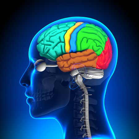 occipital: Female Brain Anatomy - Colored Stock Photo