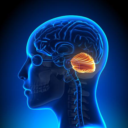 lateral cord: Female Cerebellum - Anatomy Brain Stock Photo