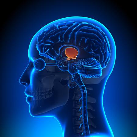 hipofisis: Hipot�lamo - Mujer Anatom�a Cerebral Foto de archivo