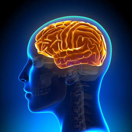 cabeza de mujer: Anatom�a Femenina cerebro completo