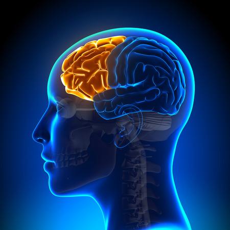 Mujer lóbulo frontal - anatomí Foto de archivo - 33946575