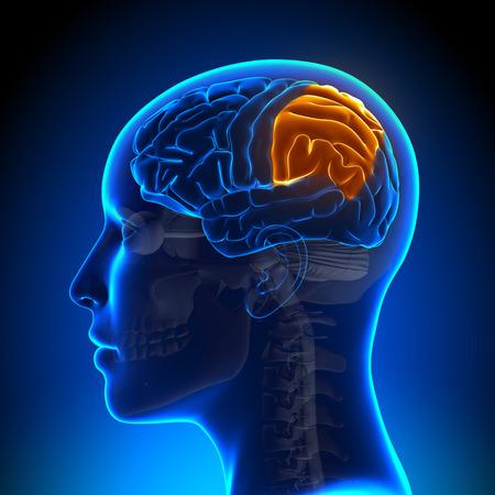 parietal: Female Parietal Lobe - Anatomy Brain Stock Photo