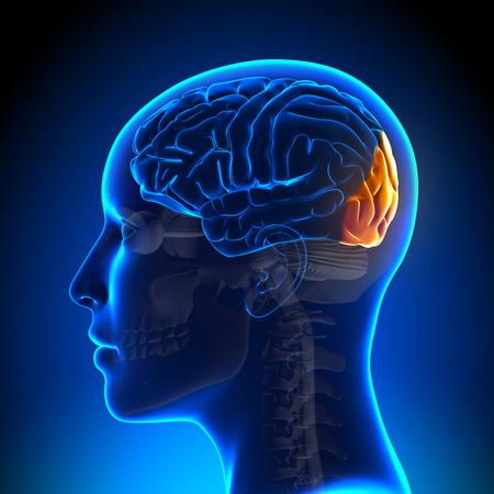 Female occipitale Lobo - Anatomia del cervello Archivio Fotografico - 33946579