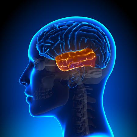 lobe: Temporal Lobe Female Brain Stock Photo