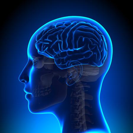 temporal: Female Brain Full Anatomy Stock Photo