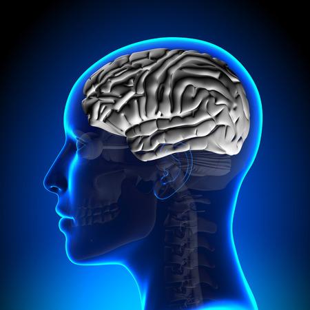 occipital: Female Brain Anatomy - White Brain