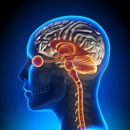 Brain Stem - Cerebellum / Optical Nerve / Female Bra