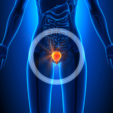 bladder surgery: Bladder - Female Organs Stock Photo