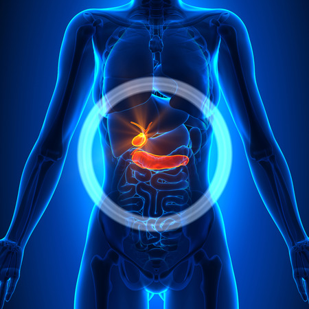 gallbladder: Gallbladder  Pancreas - Female Organs Stock Photo