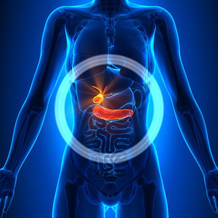 Gallbladder  Pancreas - Female Organs Stock Photo
