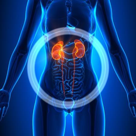 female body: Kidneys - Female Organs
