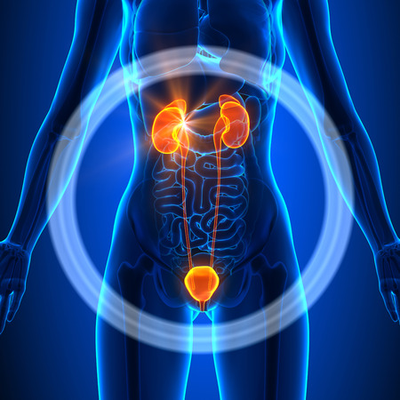 bladder surgery: Urinary System - Female Organs Stock Photo