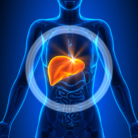 Hígado - Femenino Órganos Foto de archivo
